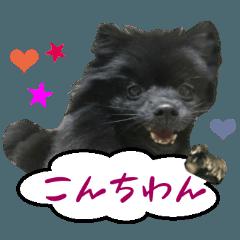 リアルDOG 黒ポメのぽんちゃん