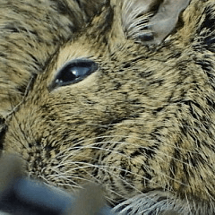 Lovely Degu