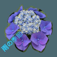 紫陽花、雨の季節。