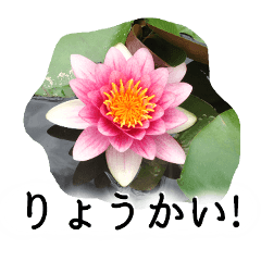 暮らしに花を♪スイレン