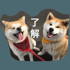 •秋田犬•ゴン太と寅次郎•