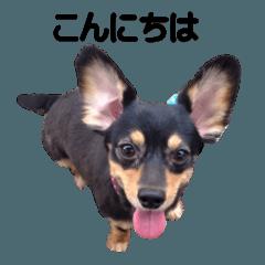 チワックス (ダックスフンド&チワワ) 1