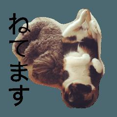 トイプードルブラウンと三毛猫
