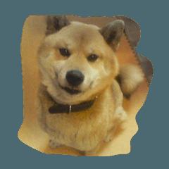 大和田家の柴犬ペロ