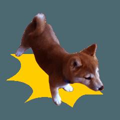 動く!しばいぬハナコ1【柴犬写真】