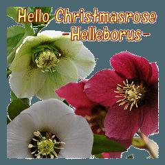ハロー クリスマスローズ 【ヘレボルス】