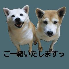 うちの柴犬(はな・あんこ)