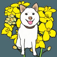 白柴の花菜ちゃんは大分弁がしゃべれます