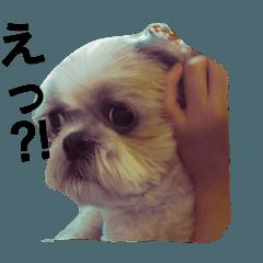 [LINEスタンプ] シーズー犬のスタンプ